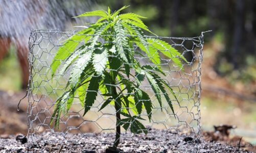 Top 4 Tips For Growing Marijuana
