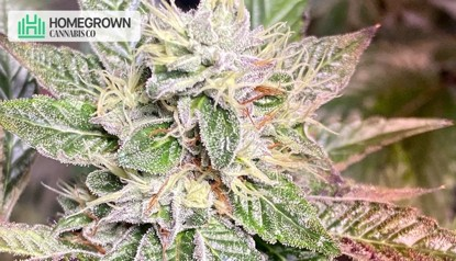 Growing Cannabis In Cold: Top Suggestions To Follow