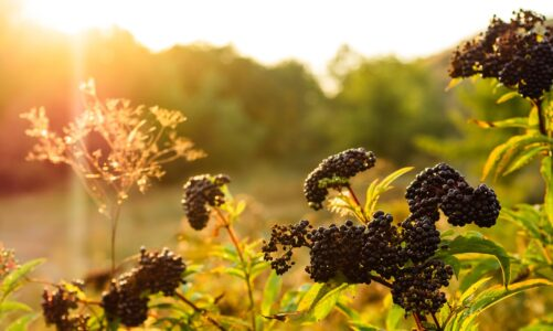The Awesome Skincare Benefits Of Elderberry